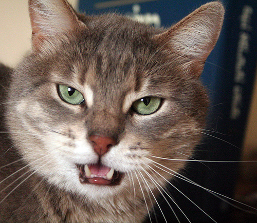 Image Result For A Talking Cat
