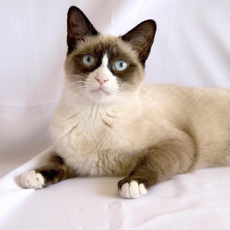 Cats that look like siamese 10