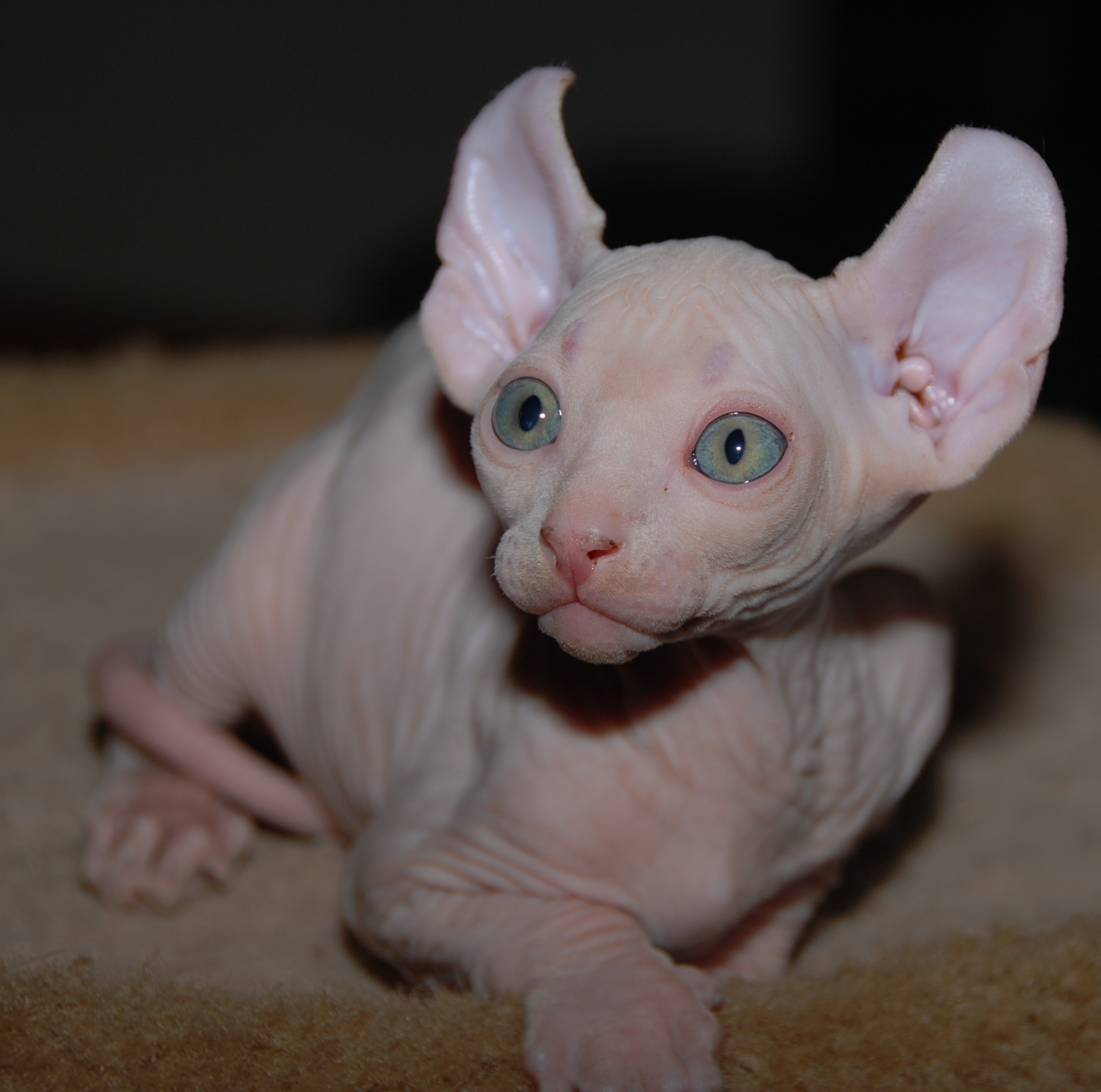 Pictures Of Elf Cats