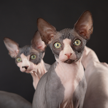 Sphynx Cat For Sale Craigslist Hawaii