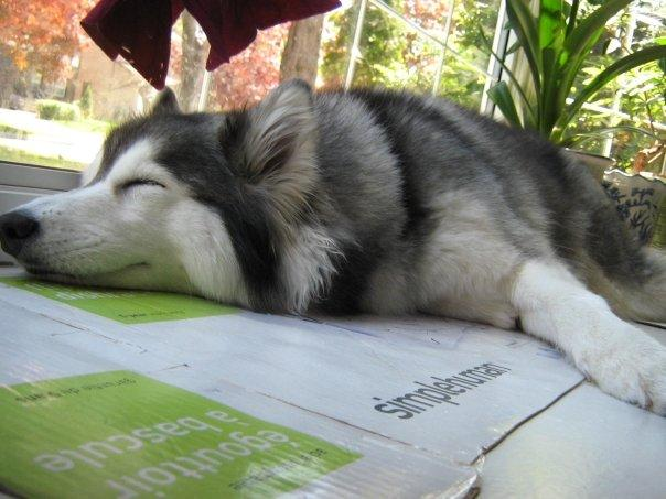Husky Raised By Cats Didn T Know How To Dog