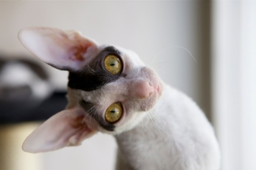 Cornish rex gato